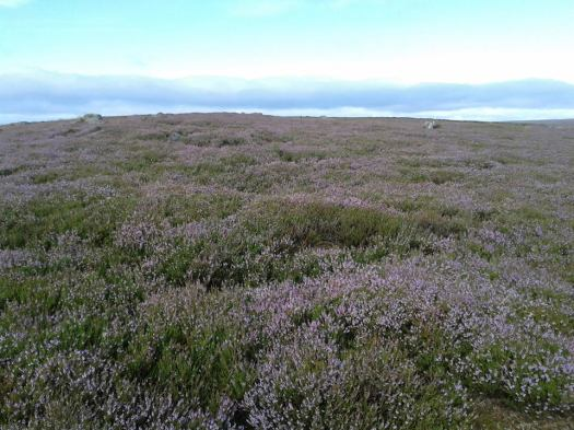 heather on moors by Helena Fairfax